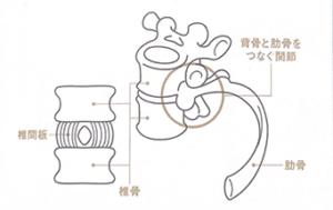 胸椎と肋骨
